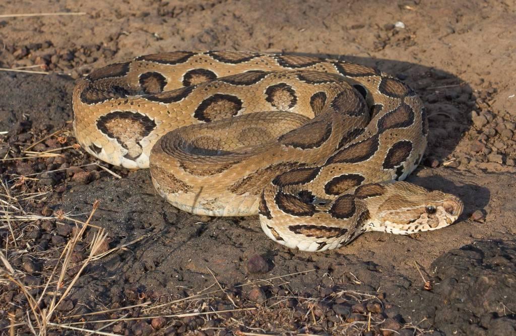 Гремучая змея - pit viper