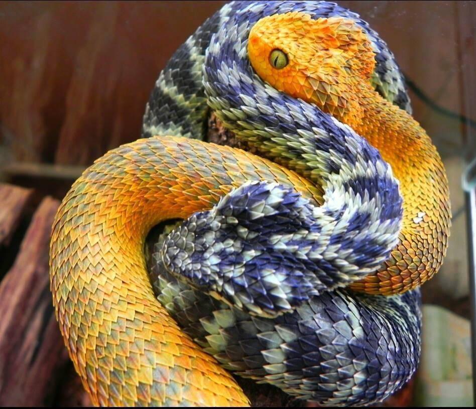 Гремучая змея - pit viper - abcdef.wiki
